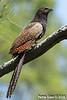 Centropus phasianus