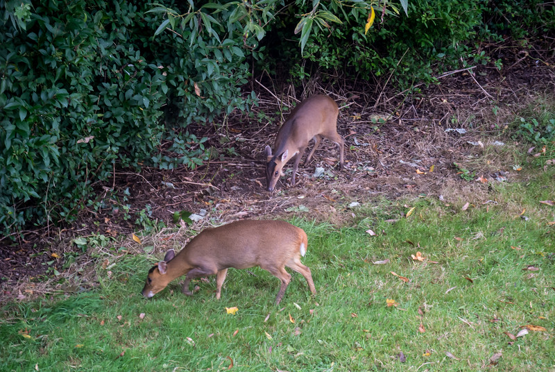 Muntjac Deer