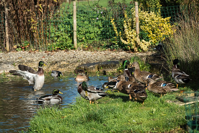 Our Ducks at Play :-)