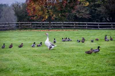 Sammy sorting out the Ducks