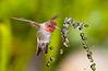 Annas Hummingbird at Fountain 2