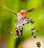 Annas Hummingbird at Fountain 3