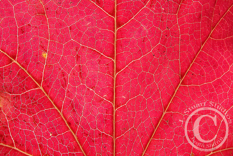 Red Leaf, Yellow Spot<br /> <br /> Bright powerful colors and details were brought out by holding this red leaf skyward.