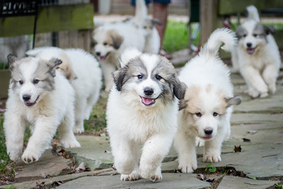 The Running Of The Pups