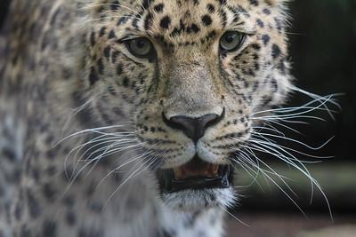 Snow Leopard (Brutus)