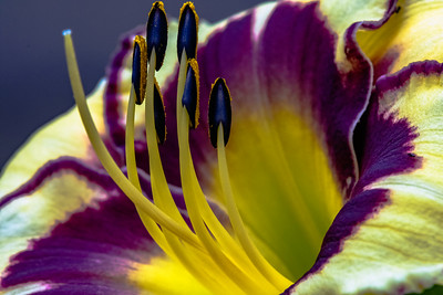 Close up of stamens on a lily