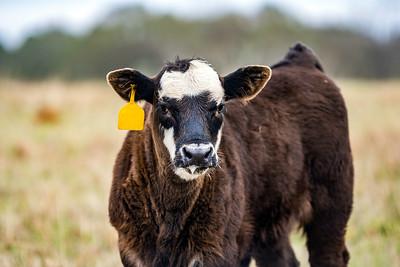 Black and white calf three-quarter view