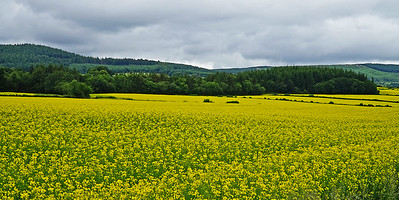 Su 6/25  southern Ireland.   A field of rapeseed outshines the sky on an overcast day.