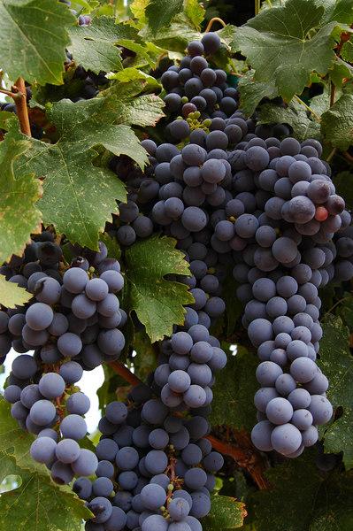 Grapes, Chateau St. Jean
