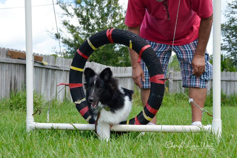 Bailey, a Shetland Sheepdog