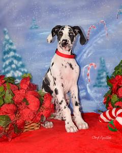Maui, a Great Dane puppy