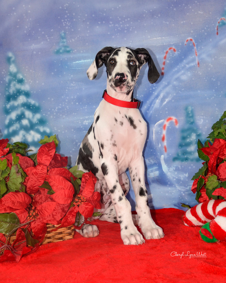 Maui, a Great Dane puppy