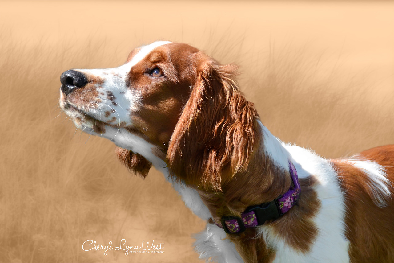 Fflur, a Welsh Springer Spaniel puppy