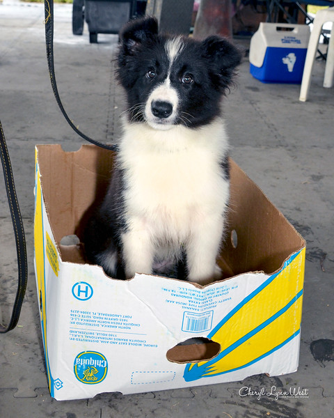 Corey, a Border Collie puppy, sitting in a box