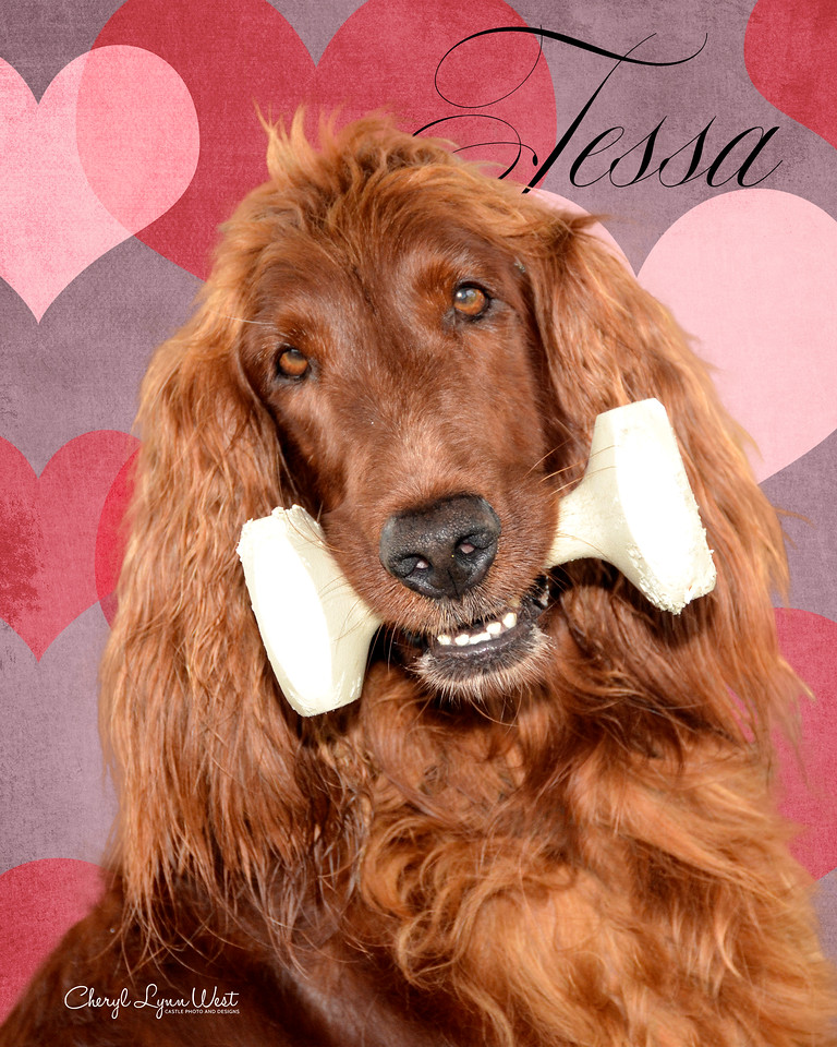Tessa, an Irish Setter, doing the hold an object for three seconds