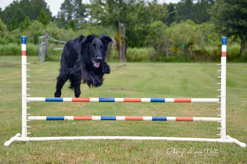 Linc, a Flat Coated Retriever, doing a jump over the bar jump