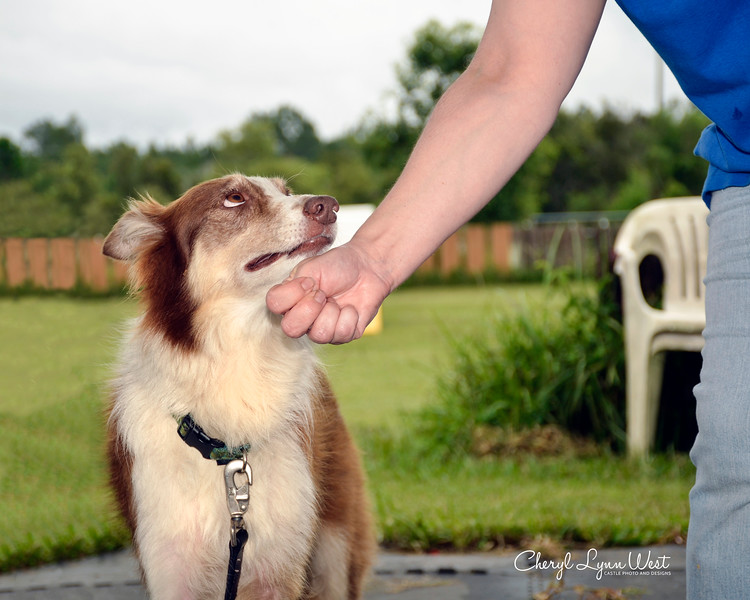 "Amber, a Border Collie, doing the ""Leave It,"" ignoring the food in the hand"