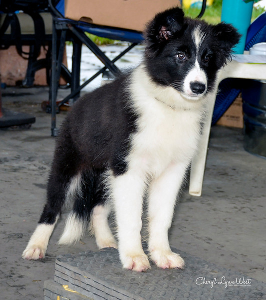 Corey, a Border Collie puppy, holding the two front feet on an object