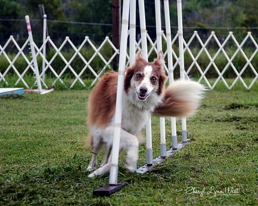 Amber, a Border Collie, working her way through the weave poles