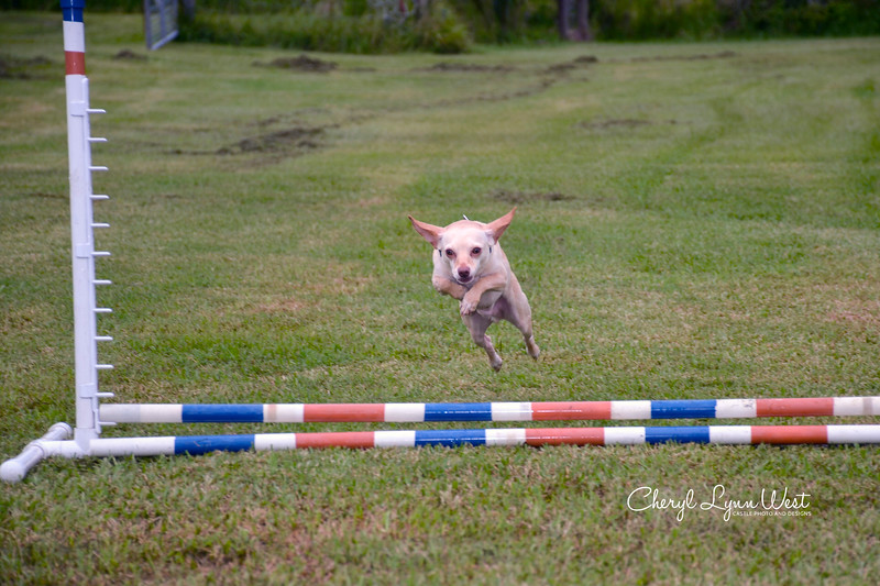 Dobby, a Chihuahua, doing a high jump over the bar jump