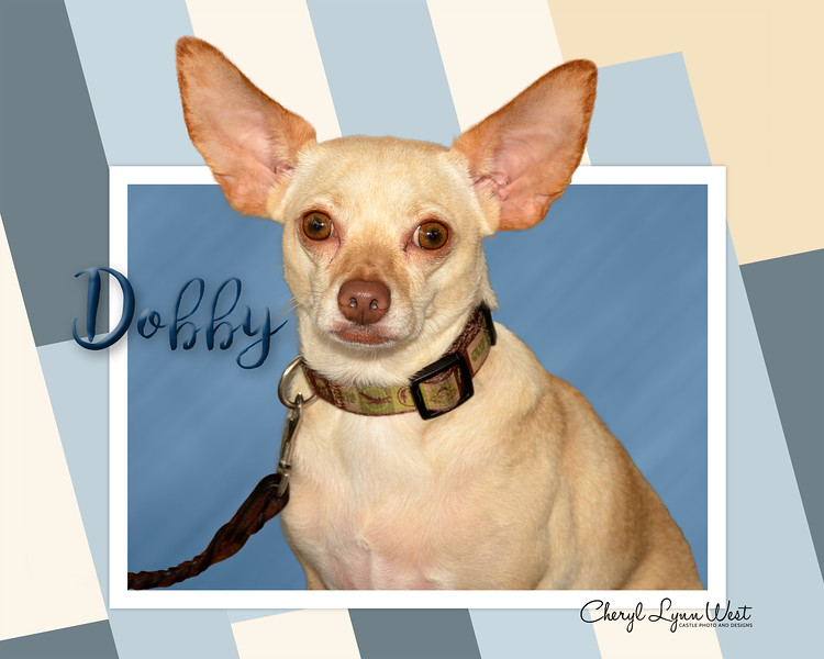 Dobby, a Chihuahua, giving great ears