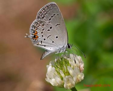 Polyommatinae sp.