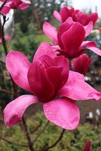 Magnolia 'Vulcan' (3-18-16)