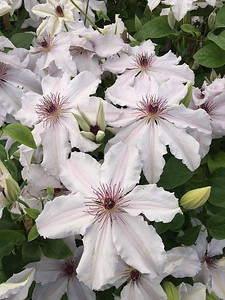Clematis 'Snow Queen' #1 (4-23-16)
