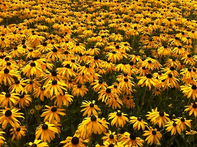 Rudbeckia 'Goldstrum' (8-9-11)