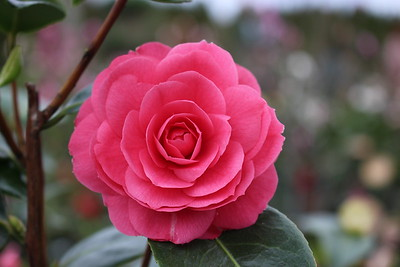 Camellia 'April Kiss' (3-4-16)