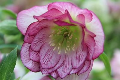 Helleborus WinterJewels 'Peppermint Ice' (3-24-17) (2)-650