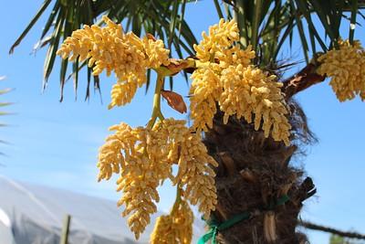 Palm, Trachycarpus fortunei