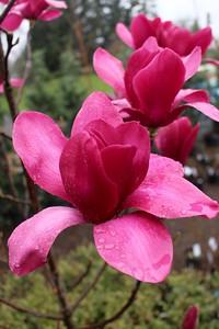 Magnolia 'Vulcan' (3-18-16)-650