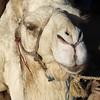 Morocco 2018, Wildlife, Camel