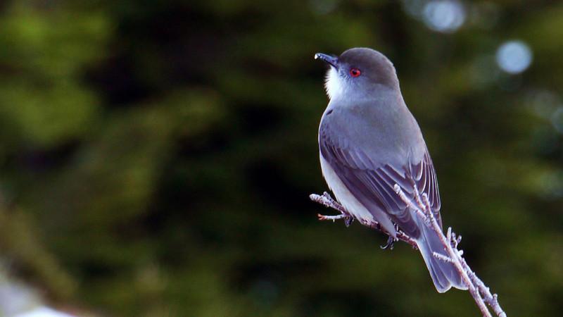Curious bird life in Los Glaciares national park in Patagonia, Argentina