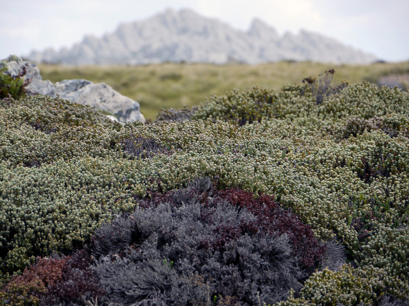 Native flora with Mount William in the background, Falkland Islands