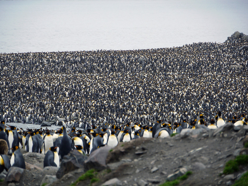200,000 king penguin colony at St Andrew's Bay, South Georgia, British Sub-Antarctic Territory