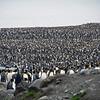 200,000 king penguin colony at St Andrew's Bay, South Georgia, British Sub-Antarctic Territory