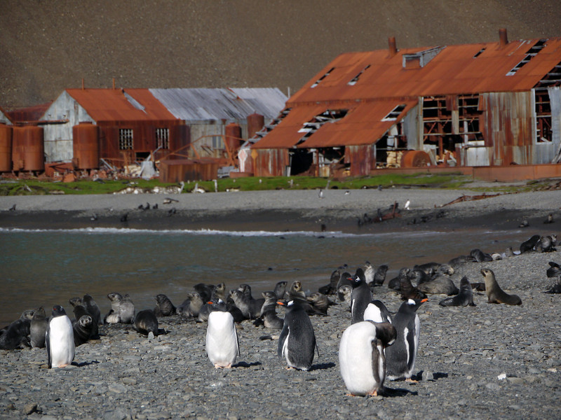 Gentoo penguins on the beach near an abandoned whaling station in Stromness, South Georgia, British Sub-Antarctic Territory
