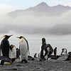 King penguins on the beach at St Andrew's Bay, South Georgia, British Sub-Antarctic Territory