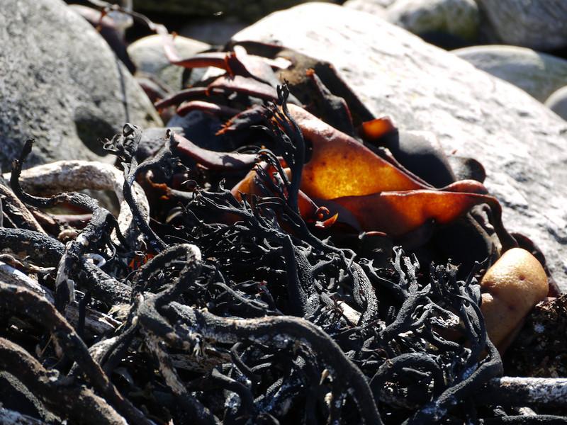 Beachside flotsam and kelp on Carcass Island, Falkland Islands