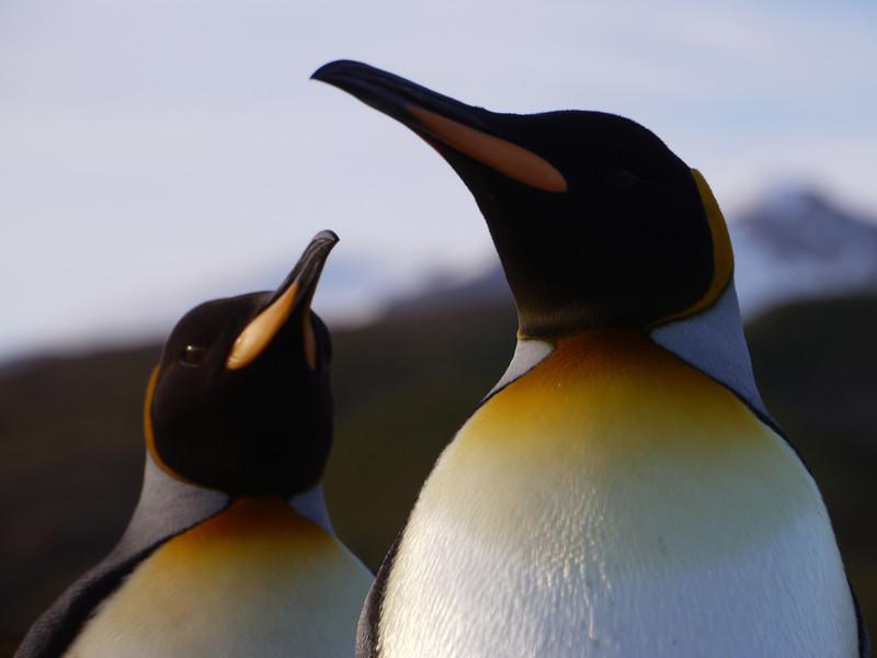 King penguins on the beach at sunrise on the Salisbury Plain, South Georgia, British Sub-Antarctic Territory