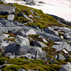 Lichens among the rocks on Cuverville Island, mainland Antarctic peninsula