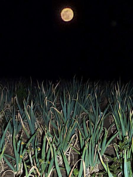 "Green onions growing feverishly like ""pod people' in the bright full moonlight on the eve of Yadnya Kasada."