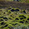 Tussock grass in Grytviken, South Georgia, British Sub-Antarctic Territory
