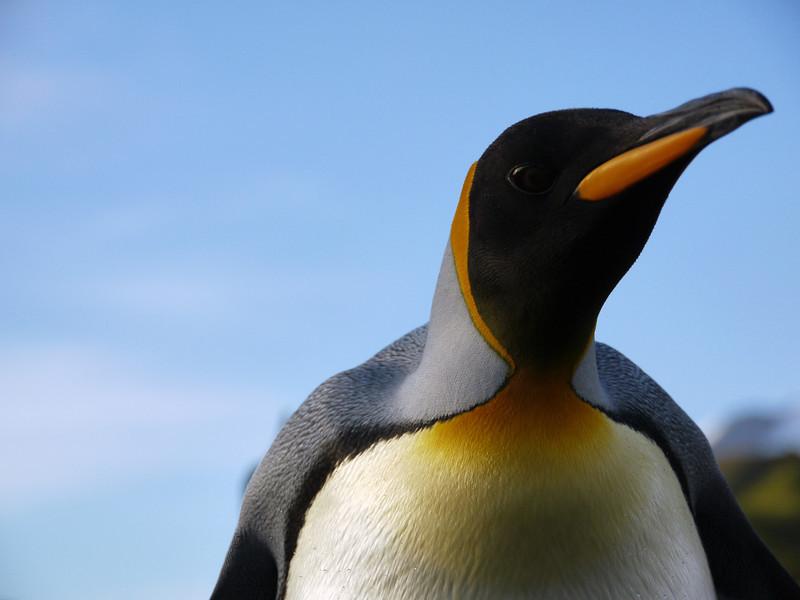 King penguin on the Salisbury Plain, South Georgia, British Sub-Antarctic Territory
