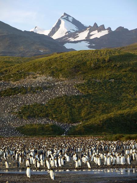 150,000 king penguin colony at Salisbury Plain, South Georgia, British Sub-Antarctic Territory