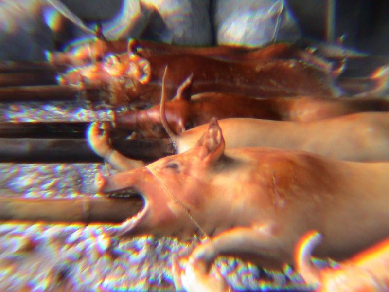 Pigs - 2004-06 - Cebu