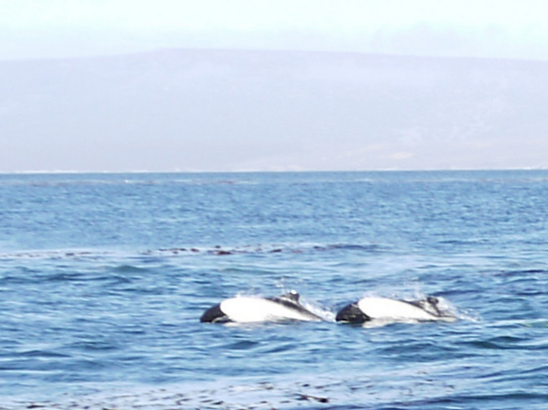 World's smallest dolphins porpoising in the bay at Carcass Island, Falkland Islands