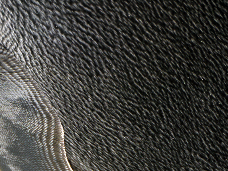 Detail of king penguin hide on the Salisbury Plain, South Georgia, British Sub-Antarctic Territory